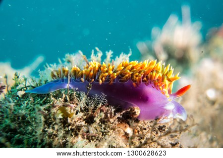 Spanish shawl nudibranch on the reef in Malibu #1300628623