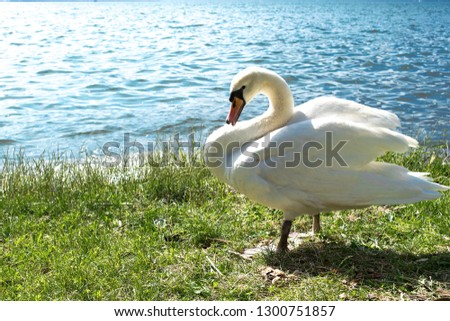 White swan on the grass by the lake. White swan close-up on the background of the lake. Swan on the grass. #1300751857