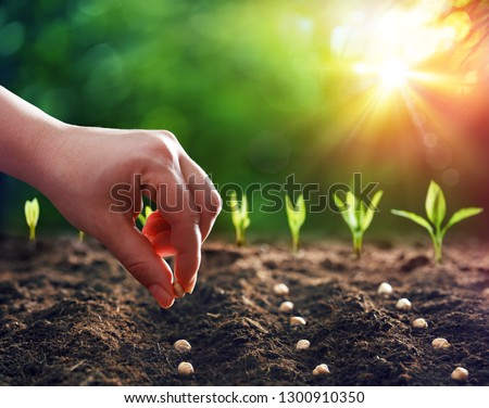Hands Planting The Seeds Into The Dirt  Royalty-Free Stock Photo #1300910350