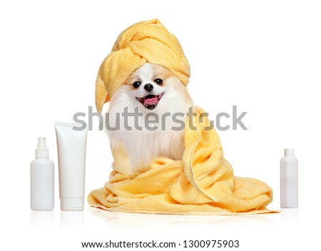 Spitz in towels after bathing isolated on white #1300975903