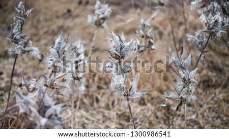 Elmira, Ontario / Canada - December 20 2018: Fluffy plants in a field #1300986541