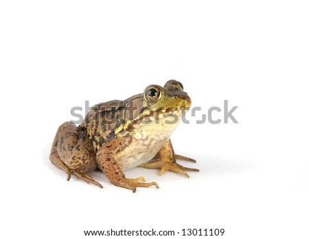 small green frog over a white background facing toward #13011109