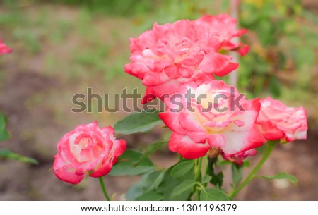 Roses flower in garden. #1301196379
