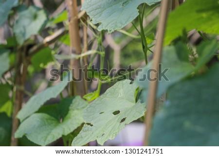 Hyacinth bean in garden #1301241751