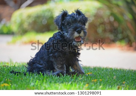 A puppy Schnauzer sitting outside in the garden observing his surrounding  #1301298091