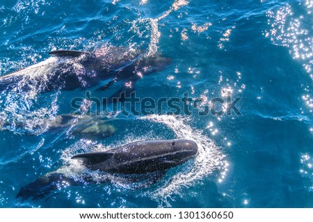 A group of Long-Finned Pilot Whales -Globicephala melas- swimming in the South Atlantic Ocean, near the Falkland Islands #1301360650