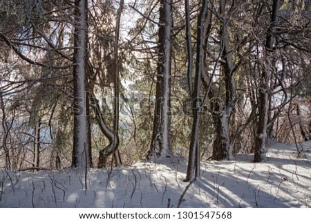 Winter landscape of the forest after a snowfall. #1301547568