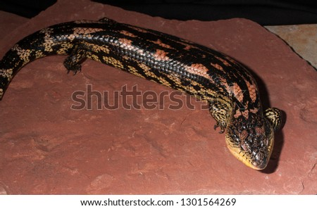 Blotched blue-tongued skink, tiliqua nigrolutea photographed in a private reptile collection #1301564269