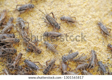 cricket farming - insects for reptiles, making food for pets,  and creating a flour from which to produce food for human nutrition - rich in protein - defeat hunger in Africa - cricket to eat #1301565817