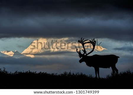 Caribou in front of the Denali Royalty-Free Stock Photo #1301749399