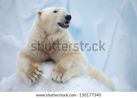 portrait of large white bear on ice Royalty-Free Stock Photo #130177340