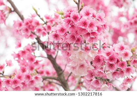 Beautiful cherry blossoms blooming in Yangming Mountain, Taiwan #1302217816