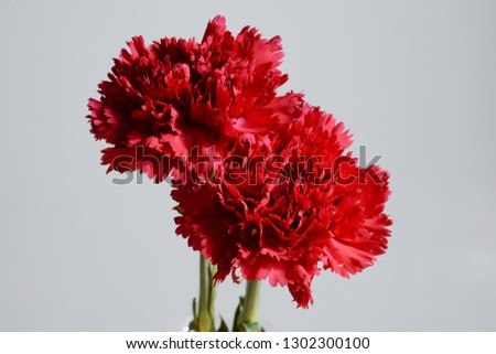Red Carnation flower photography