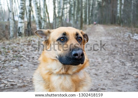 East European Shepherd. Young energetic scared dog walks in the forest. Harmonious relationship with the dog: mental health, education and training. #1302418159