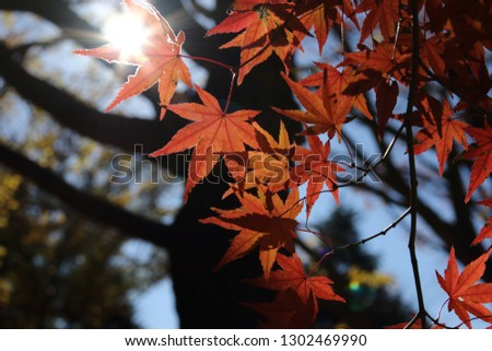 Yellow and red autumn leaves in Japan #1302469990