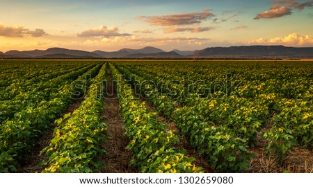 Colorful landscape image of sunset over cotton field with beautiful clouds in the sky #1302659080