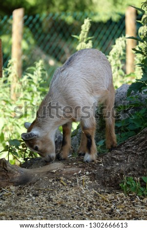 Young goat in a park        #1302666613