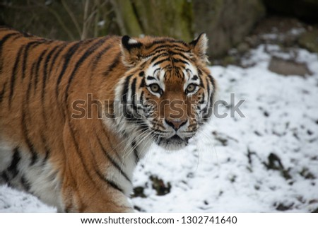 Tiger in Snow #1302741640