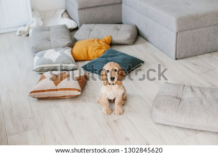 English cocker spaniel puppy sitting on pillows on wooden floor at home. Raising a dog puppy #1302845620