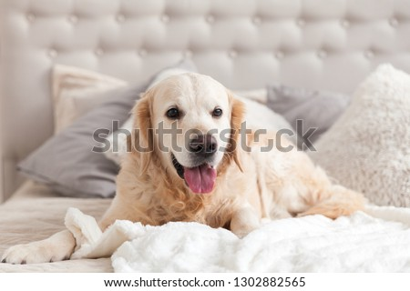 Happy smiling golden retriever puppy dog in luxurious bright colors classic eclectic style bedroom with king-size bed and bedside table. Pets friendly  hotel or home room. Copy space, empty for text. #1302882565