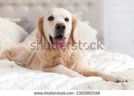 Happy smiling golden retriever puppy dog in luxurious bright colors classic eclectic style bedroom with king-size bed and bedside table. Pets friendly  hotel or home room. Copy space, empty for text. #1302882568