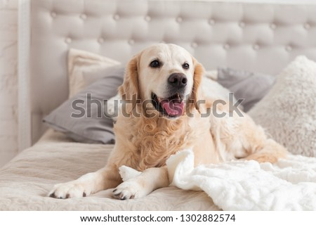 Happy smiling golden retriever puppy dog in luxurious bright colors classic eclectic style bedroom with king-size bed and bedside table. Pets friendly  hotel or home room. Copy space, empty for text. #1302882574