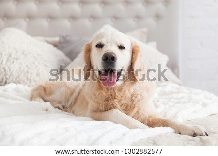 Happy smiling golden retriever puppy dog in luxurious bright colors classic eclectic style bedroom with king-size bed and bedside table. Pets friendly  hotel or home room. Copy space, empty for text. #1302882577