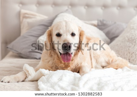 Happy smiling golden retriever puppy dog in luxurious bright colors classic eclectic style bedroom with king-size bed and bedside table. Pets friendly  hotel or home room. Copy space, empty for text. #1302882583