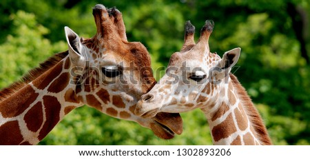 The giraffe (Giraffa camelopardalis) is an African even-toed ungulate mammal, the tallest of all extant land-living animal species, and the largest ruminant. #1302893206