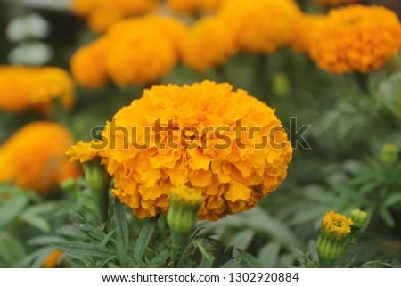 closeup : Beautiful yellow Marigold in Indonesia #1302920884