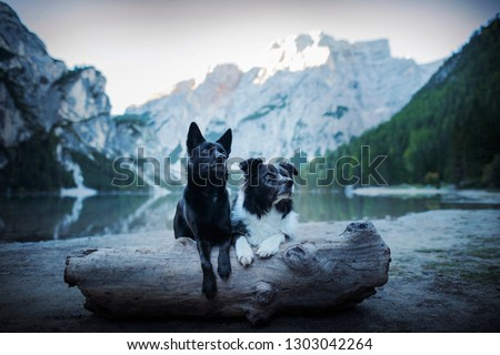 Two dogs in the mountains. Australian kelpie and border collie in the Dolomites.  #1303042264