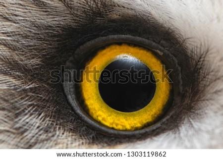 Owl's eye close-up, macro photo, Eye of the Short-eared Owl, Asio flammeus.