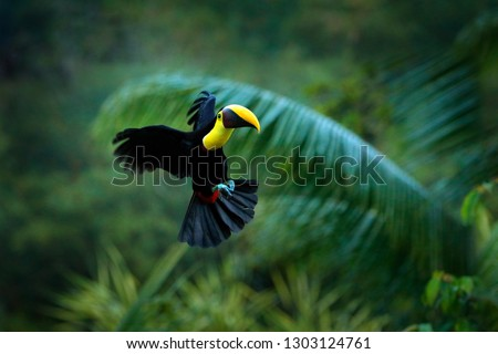 Tropic bird fly. Flying jungle bird during rain. Keel-billed Toucan, Ramphastos sulfuratus, bird with big bill flying above the forest. Beautiful wildlife scene. Animal in nature forest habitat.