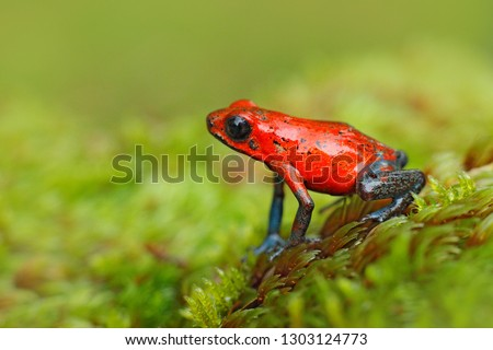 Red Strawberry poison dart frog, Dendrobates pumilio, in the nature habitat, Costa Rica. Close-up portrait of poison red frog. Rare amphibian in the tropic. Wildlife jungle. Frog in the forest. #1303124773