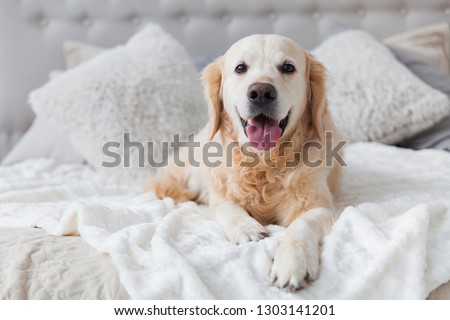 Happy smiling golden retriever puppy dog in luxurious bright colors classic eclectic style bedroom with king-size bed and bedside table. Pets friendly  hotel or home room. Copy space, place for text. #1303141201