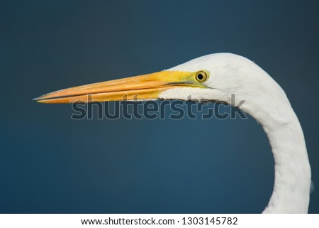 Portrait of Great Egret (Ardea alba) with blue background #1303145782