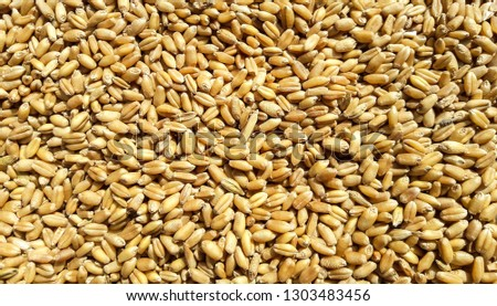 Wheat grains background and texture #1303483456