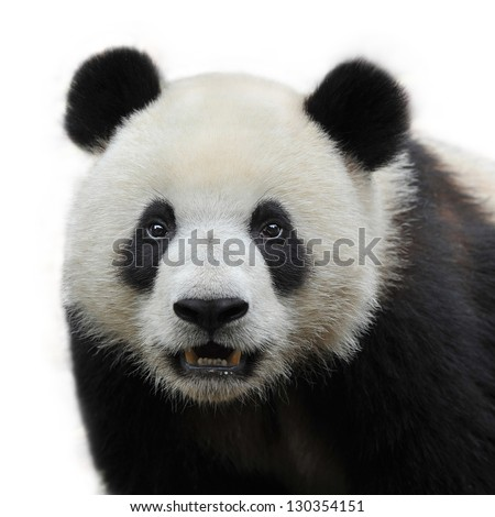 Closeup of panda bear isolated on white background