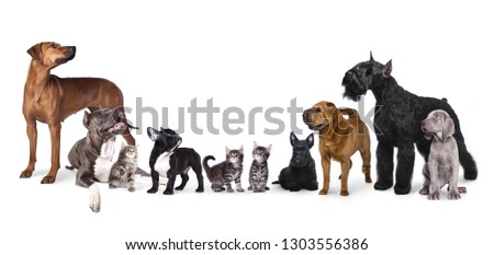 Group of dogs , Portrait of standing in profile Giant Schnauzer #1303556386