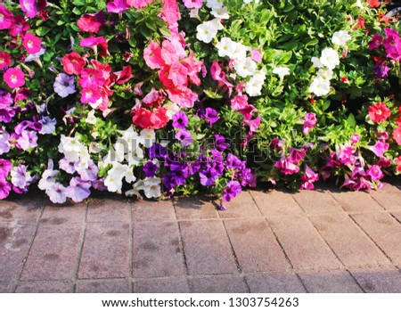 Corolful ornamental  petunia flowers blooming on wall and concrete floor background #1303754263