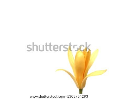 Champaka Flowers on white background #1303754293