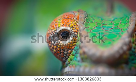 Chameleon is a type of lizard that belongs to the family of Chamaeleonidae, Some of the features of chameleons are known to be able to change their color or are called camouflage. #1303826803
