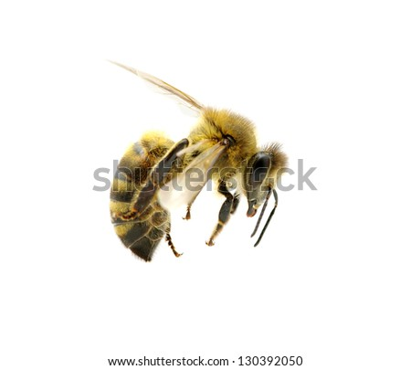 bee isolated on the white #130392050