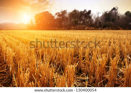 Dusk countryside, rice fields after the first. #130400054