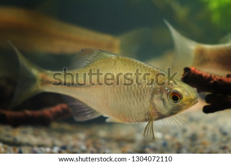 Rhodeus amarus, European bitterling, beautiful ornamental adult male, small freshwater fish in biotope aquarium #1304072110