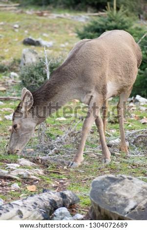 Red deer (Cervus elaphus C. e. hippelaphus) in Parnitha mountain, Greece #1304072689