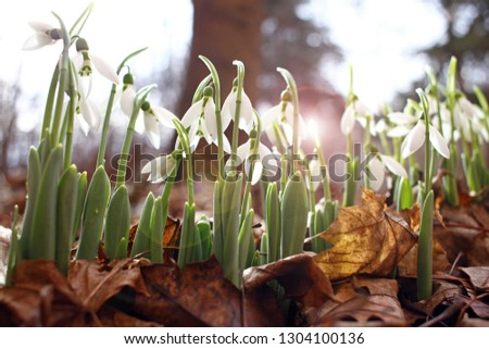 Snowdrop spring flowers. Snowdrops with morning light. Snowdrop flower background texture. Floral pattern. Flowers wallpaper. White snowdrop. Galanthus nivalis in the garden. Copy space for your text #1304100136