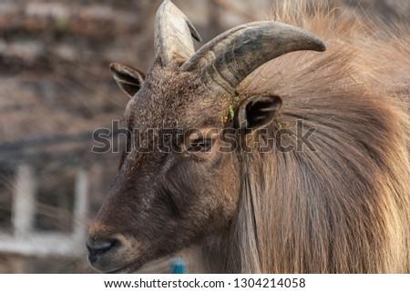 Close up portrait of a wild goat.  Head shot of a wild goat.  #1304214058