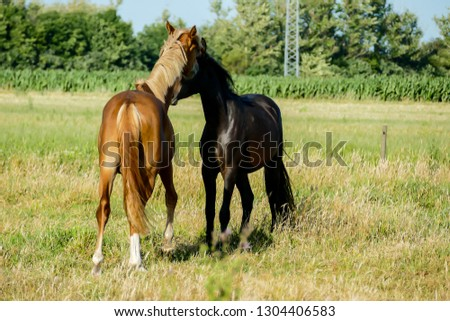 mare and foal in green field, in Sweden Scandinavia North Europe #1304406583