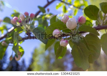 Branches of blossoming cherry against background of blue sky and white clouds, pink sakura flowers on light blue pastel colors background. #1304421025